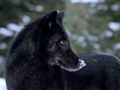 Sur les pas des loups